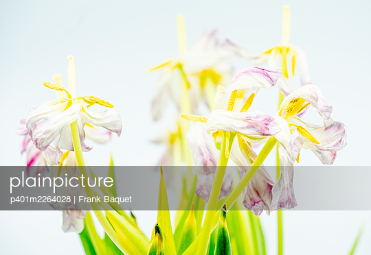 Withered tulips - p401m2264028 by Frank Baquet