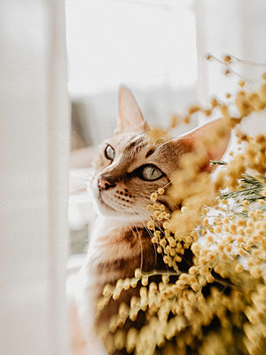 Cat in the window with yellow flowers - p1522m2072807 by Almag
