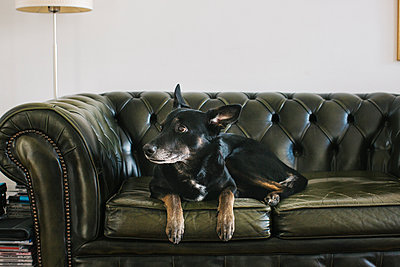 Portrait of dog lying on leather couch - p300m1228617 by Julien Balmer