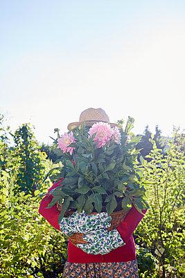 Dahlie einpflanzen - p464m1172230 von Elektrons 08
