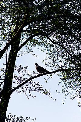 Pigeon on branch - p586m1109876 by Kniel Synnatzschke