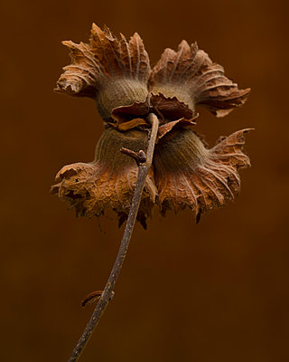 Rear View of Hazelnut Seed Pod against Brown Background - p694m2069094 by Lori Adams