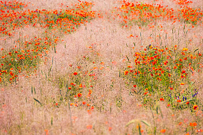 Flower field - p739m1147292 by Baertels