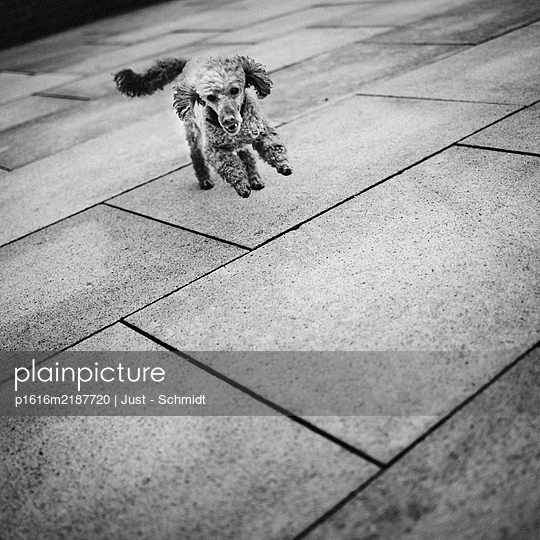 Poodle running across square - p1616m2187720 by Just - Schmidt