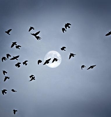 Ein Vogelschwarm fliegt bei Vollmond  - p476m1162907 von Ilona Wellmann