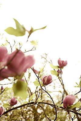 Magnolienblüte in Altrosa - p606m900701 von Iris Friedrich