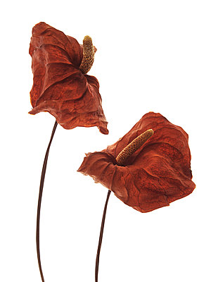Dried Anthurium Flowers with Spathe and Spadix against White Background - p694m2068668 by Lori Adams