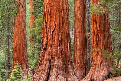Bachelor and Three Graces Sequoia tress in Mariposa Grove, Yosemite National Park, UNESCO World Heritage Site, California, United States of America, North America - p871m1082174 by Adam Burton
