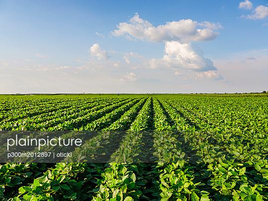 Serbia, Vojvodina. Green soybean field, Glycine max - p300m2012897 von oticki