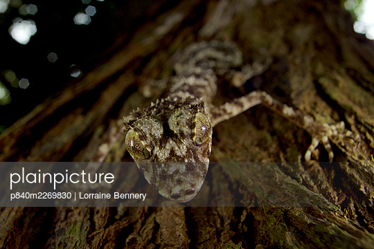New species of Leaf-tailed gecko (Saltuarius eximius)on tree trunk in patch of rainforest. Cape Melville National Park, Cape York Peninsula, Queensland, Australia. - p840m2269830 by Lorraine Bennery