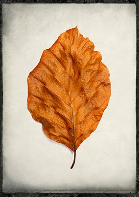 One leaf in studio - p813m1016171 by B.Jaubert