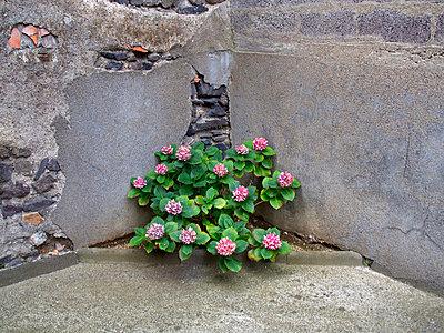 Hydrangea in a corner - p813m925746 by B.Jaubert