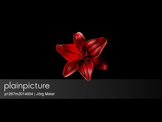 Asiatische Lilie - p1267m2014004 von Wolf Meier