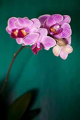 Orchid - p971m1048225 by Reilika Landen