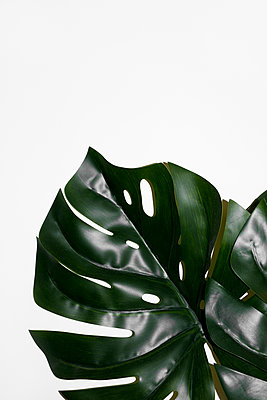 Monstera leaves on a white background - p1423m2087364 by JUAN MOYANO