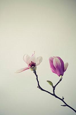 Magnolia Blossom III - p495m793570 by Jeanene Scott