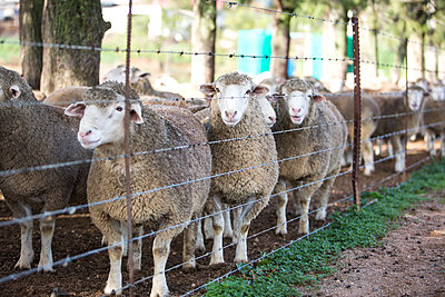 Flock of sheep behind fence - p300m1192247 by zerocreatives