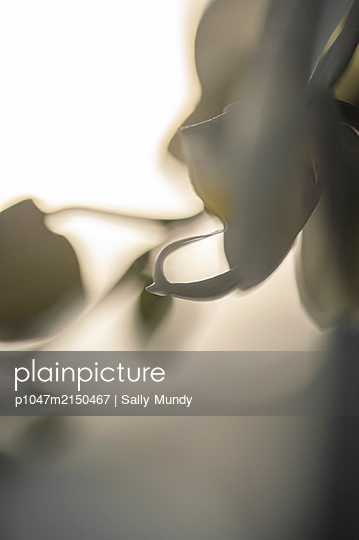Abstract close-up profile of white orchid flower against light background - p1047m2150467 by Sally Mundy