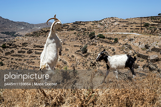 Zwei Ziegen kämpfen - p445m1159664 von Marie Docher