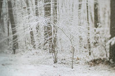 Snow covered bare trees in woodland during snowfall - p1166m2000827 by Cavan Images
