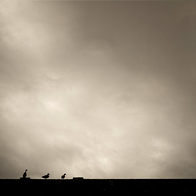 Ducks in silhouette - p1228m1181433 by Benjamin Harte