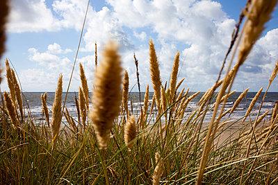Strandgras - p304m1093930 von R. Wolf