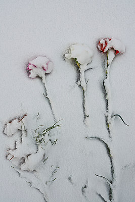 Roses in snow - p390m1011423 by Frank Herfort