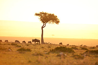 Wildebeest during sunrise - p533m1225545 by Böhm Monika