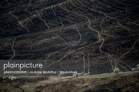 Sheep graze on land scorched by a bushfire in the Buchan area, Australia, January 2020 - p840m2269808 by Jo-Anne McArthur / We Animals