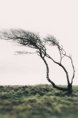 Single gnarled wind swept tree on moorland - p1047m1510721 by Sally Mundy