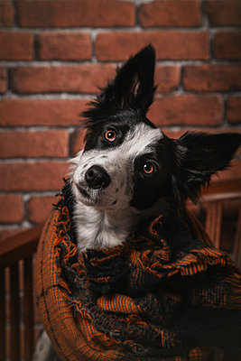 Beautiful young border collie with a blanket on a wooden chair l - p1166m2290252 by Cavan Images