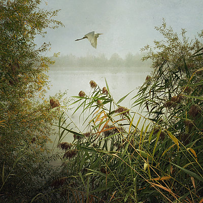 Flight of the Great Egret - p1633m2208922 by Bernd Webler