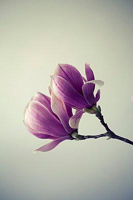 Magnolia Blossom VIII - p495m793575 by Jeanene Scott