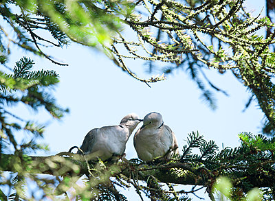 Lovebirds - p533m1496804 by Böhm Monika