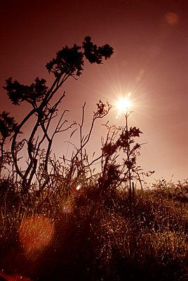 Ginster im Abendrot - p5970310 von Tim Robinson