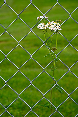 Wild flower at a fence - p876m955678 by ganguin