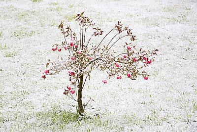 Tree in flower under the snow - p1682m2260707 by Régine Heintz
