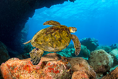 """""""This green sea turtle (Chelonia mydas), an endangered species, is passing under Lone Tree Arch, a dive site on the Kona Coast; Kona, Island of Hawaii, Hawaii, United States of America"""" - p442m2016303 by Dave Fleetham"""