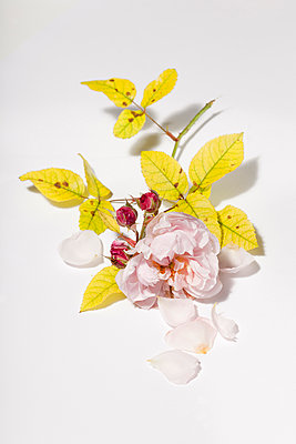 Verblühte Rose - p570m907602 von Elke Röbken