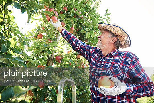 Fruit grower harvesting apples in orchard - p300m2166118 by gpointstudio