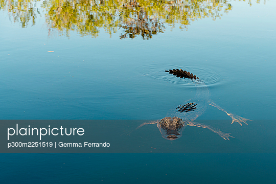 American alligator swimming in lake at Everglades National Park - p300m2251519 by Gemma Ferrando