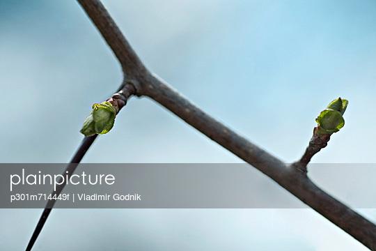 Detail of buds on a branch - p301m714449f by Vladimir Godnik