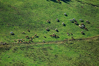 Cows on a meadow - p1016m755482 by Jochen Knobloch