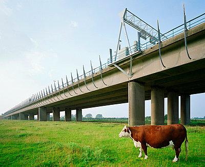 Cow grazing under rural overpass - p42918753 by Mischa Keijser