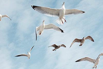 Seagulls in flight - p4380063 by Laura Petermann