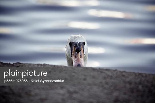 Der Kopf eines Höckerschwans am Ufer - p586m973058 von Kniel Synnatzschke