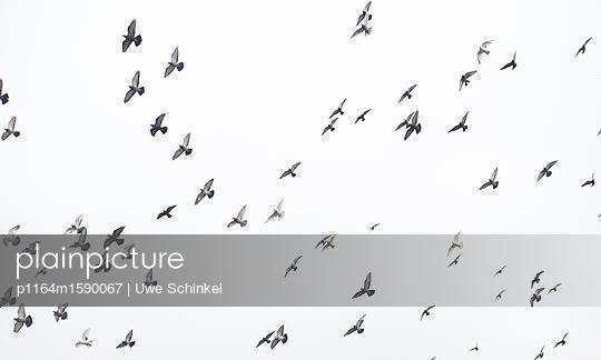 Tauben - p1164m1590067 von Uwe Schinkel
