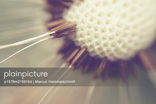 Löwenzahn, Pollen - p1578m2159164 von Marcus Hammerschmitt