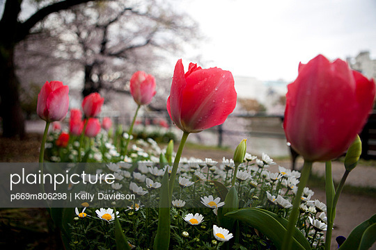 Flowerbed with Red Tulips and Daisies - p669m806298 by Kelly Davidson