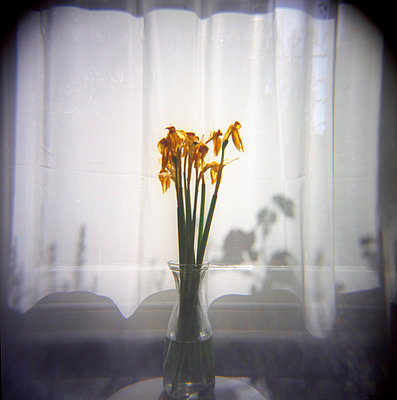 Vase of dead daffodils by sunlit net curtain - p1072m829324 by Neville Mountford-Hoare